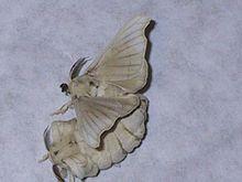 Jedwabnik - najbardziej udomowione zwierzę świata