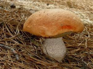 Czy warto jeść leśne grzyby?