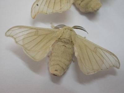 motyl jedwabnika