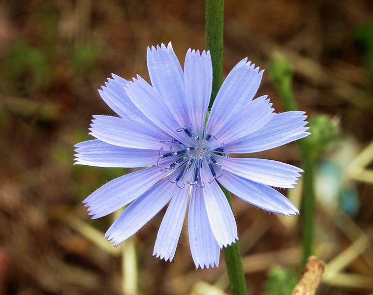 kwiatostan cykorii