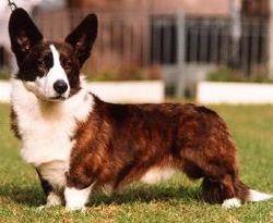 Rasy psów: welsh corgi cardigan