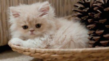 Młody kot perski