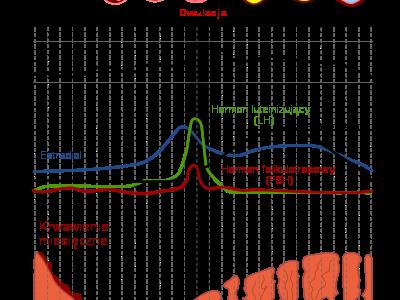Cykl miesiączkowy