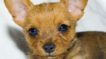 Rasy psów: chihuahua
